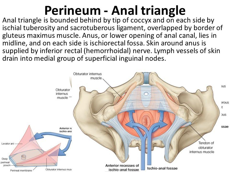 Ischial tuberosity anatomy