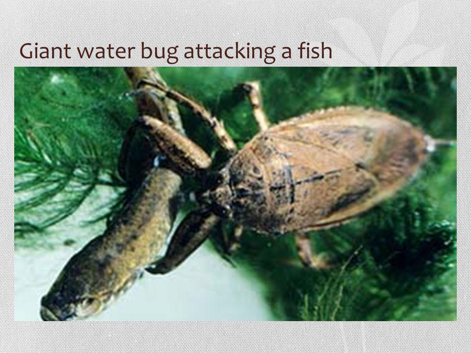 Giant water bug attacking a fish