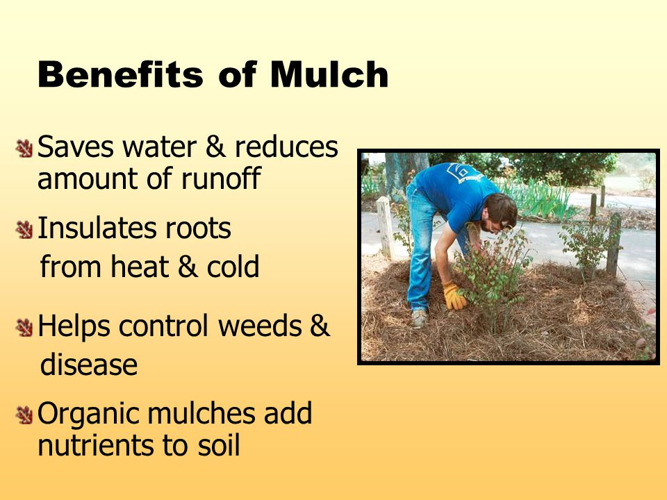 Benefits of Mulch Saves water & reduces amount of runoff Insulates roots from heat & cold Helps control weeds & disease Organic mulches add nutrients