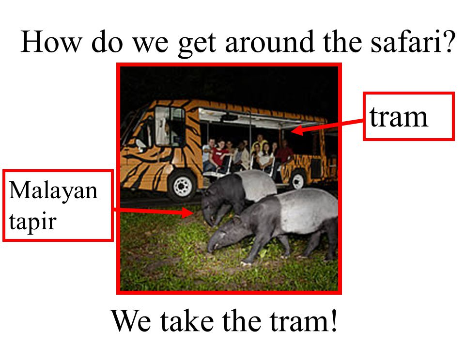 We take the tram! How do we get around the safari? Malayan tapir tram