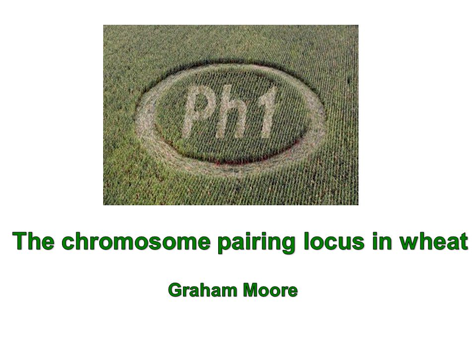 So key question Can we mimic the effect of deleting Ph1 by increasing histone H1 phosphorylation and hence Induce pairing between related chromosomes?.