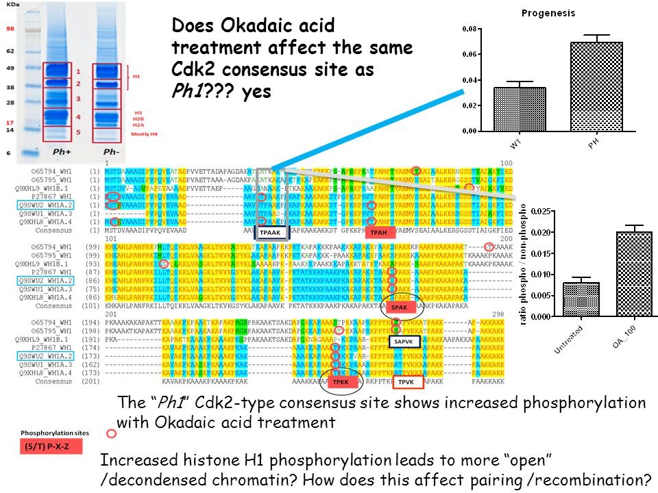 Does Okadaic acid treatment affect the same Cdk2 consensus site as Ph1??.