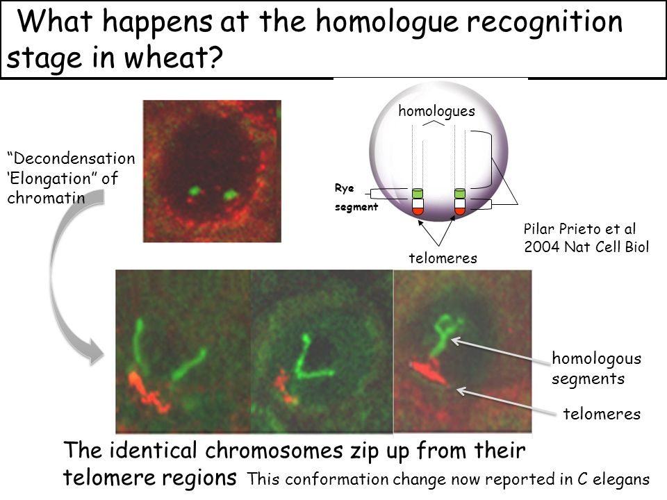 telomeres homologous segments What happens at the homologue recognition stage in wheat.