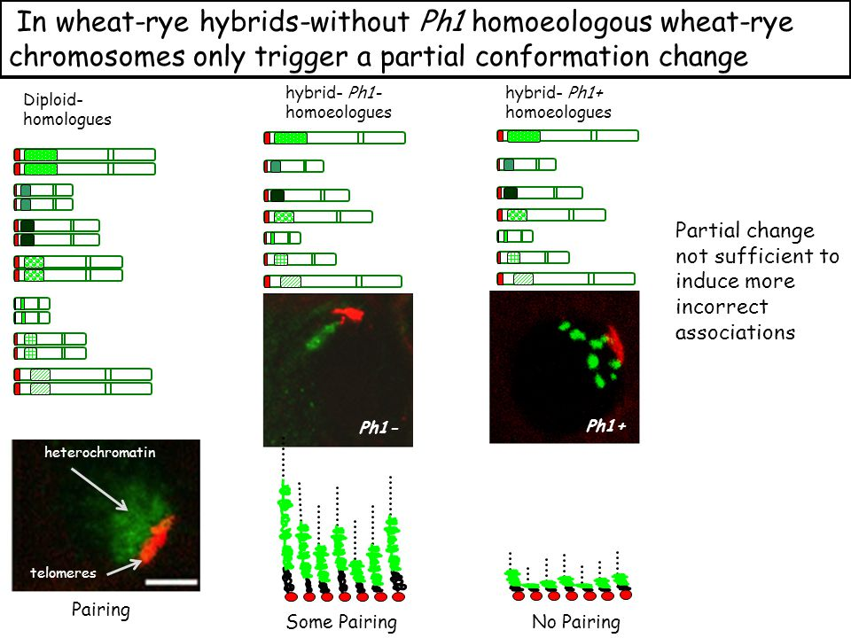 No Pairing Ph1+ Some Pairing Ph1- Pairing Ph1- Diploid- homologues hybrid- Ph1- homoeologues In wheat-rye hybrids-without Ph1 homoeologous wheat-rye chromosomes only trigger a partial conformation change hybrid- Ph1+ homoeologues heterochromatin telomeres Partial change not sufficient to induce more incorrect associations