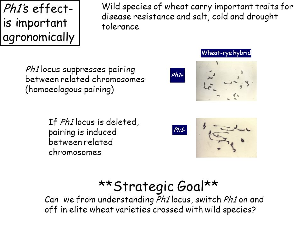 Ph1's effect- is important agronomically Wheat-rye hybrid Ph1+ Ph1- Ph1 locus suppresses pairing between related chromosomes (homoeologous pairing) If Ph1 locus is deleted, pairing is induced between related chromosomes **Strategic Goal** Can we from understanding Ph1 locus, switch Ph1 on and off in elite wheat varieties crossed with wild species.