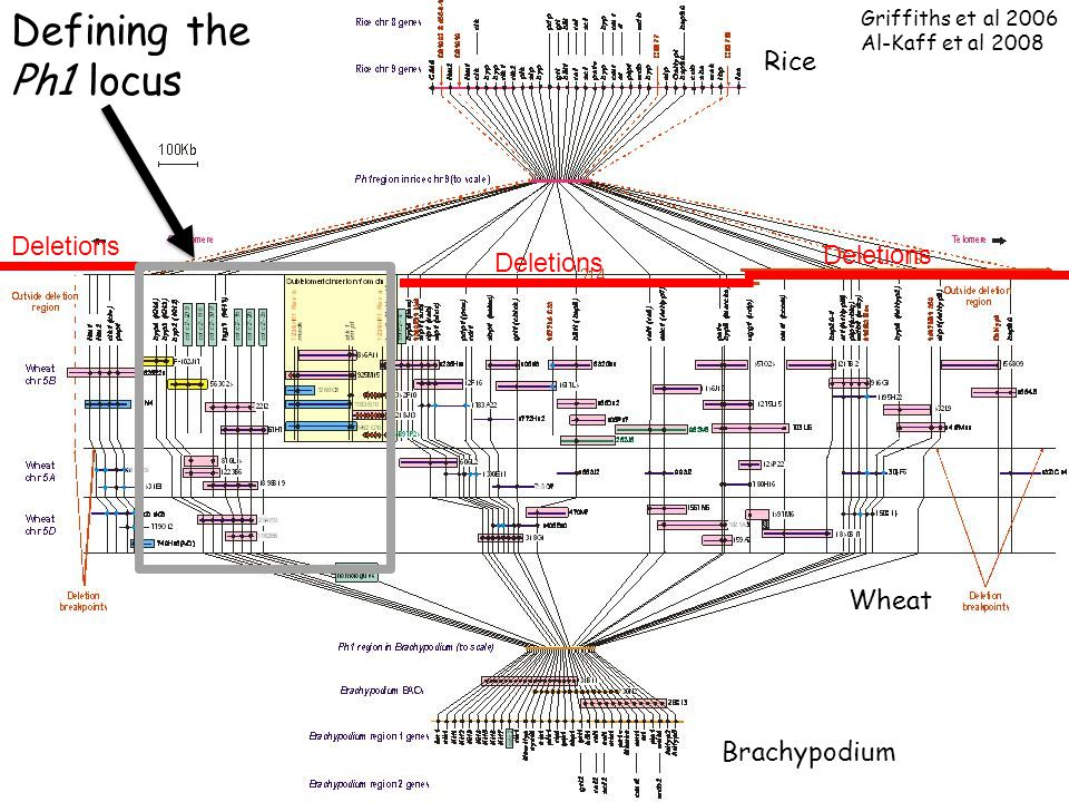 Rice Brachypodium Wheat Deletions Defining the Ph1 locus Griffiths et al 2006 Al-Kaff et al 2008
