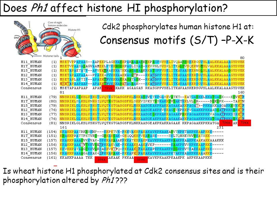Wheat Histone H1 phosphorylated at Cdk2-type consensus (S/T) –P-X-K sites Cdk2-type phosphorylation on histone H1 is increased when Ph1 locus deleted Azahara Martinez, Ali Pendle, Alex Jones, Isabelle Colas