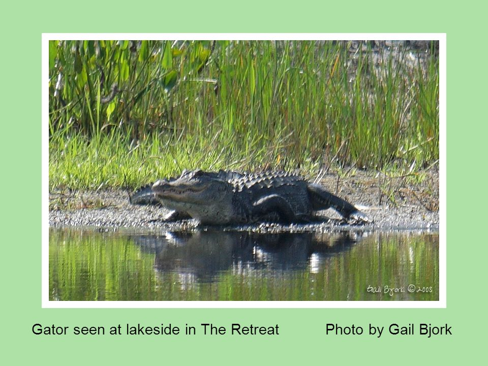 Gator seen at lakeside in The Retreat Photo by Gail Bjork