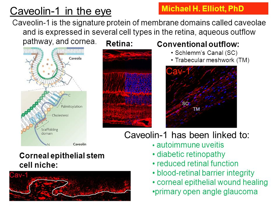 Caveolin-1 in the eye Caveolin-1 is the signature protein of membrane domains called caveolae and is expressed in several cell types in the retina, aqueous outflow pathway, and cornea.