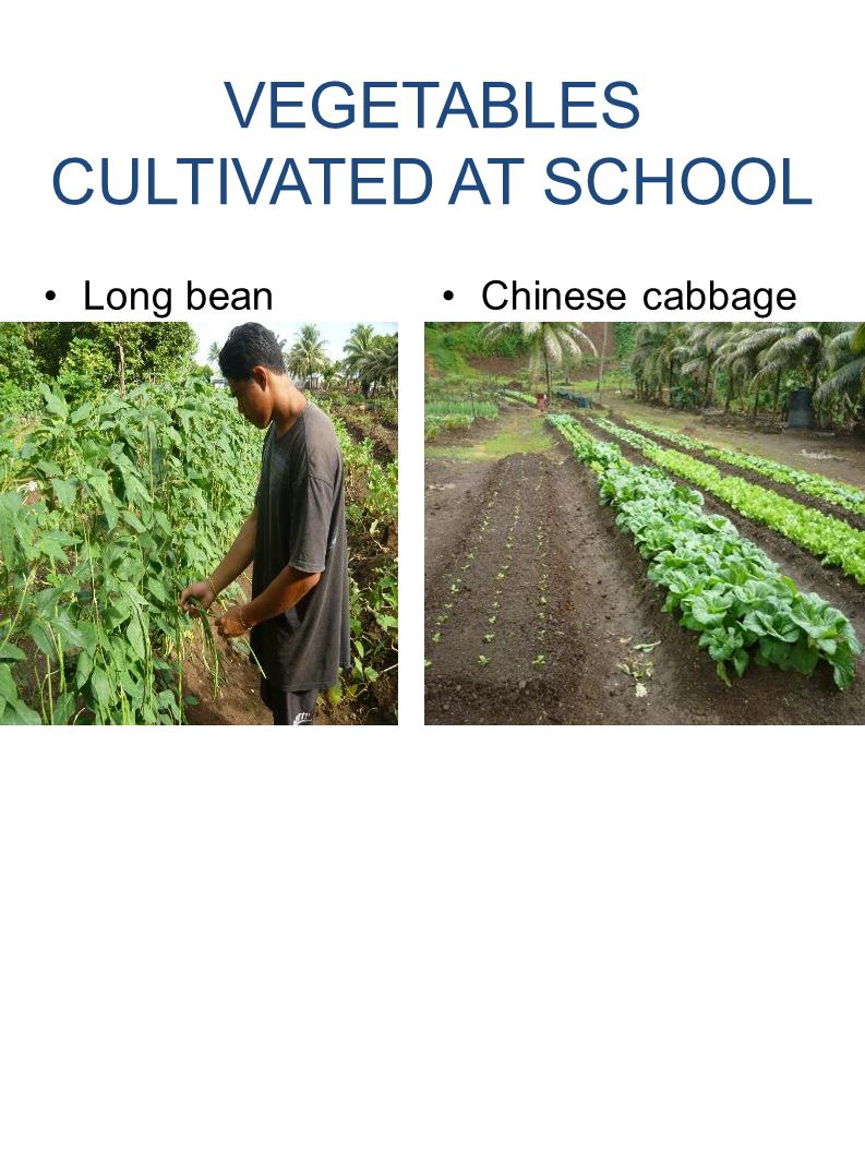 VEGETABLES CULTIVATED AT SCHOOL Long beanChinese cabbage