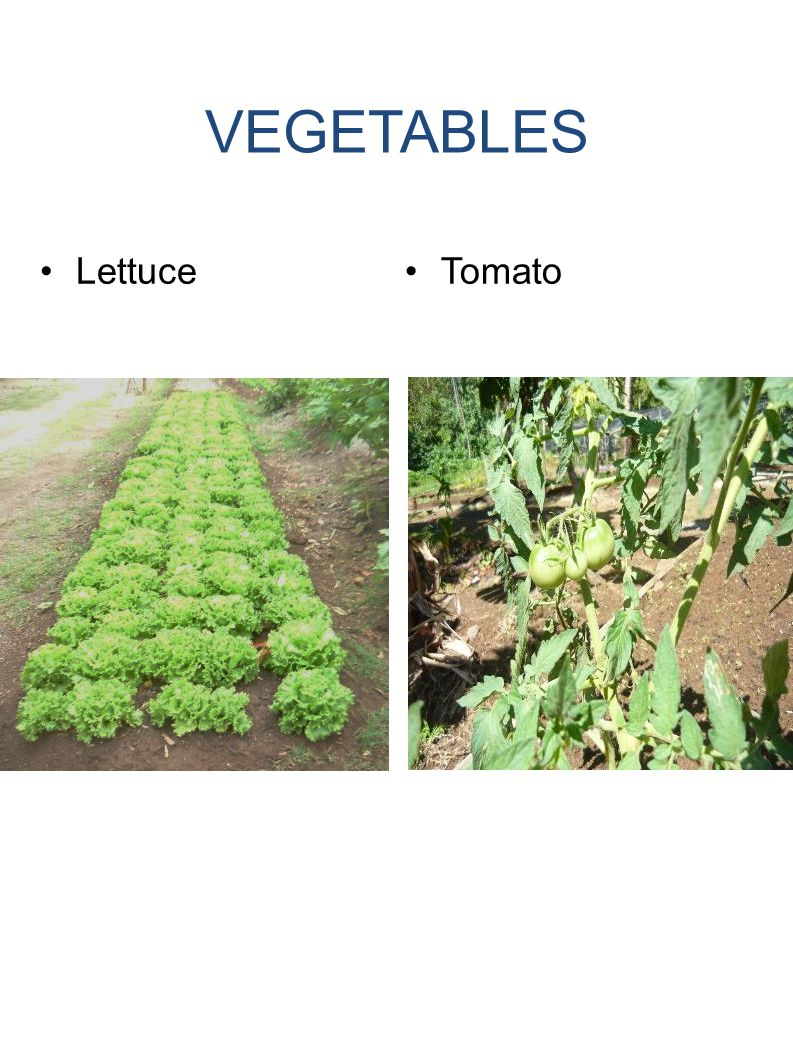 VEGETABLES LettuceTomato