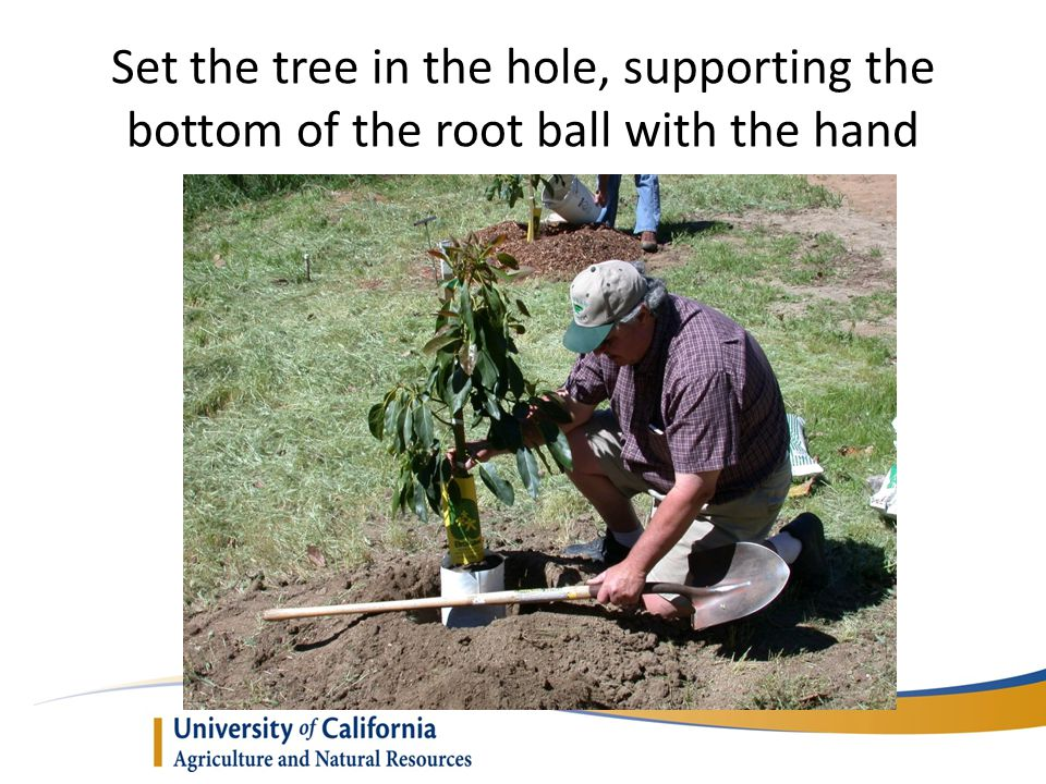 Set the tree in the hole, supporting the bottom of the root ball with the hand