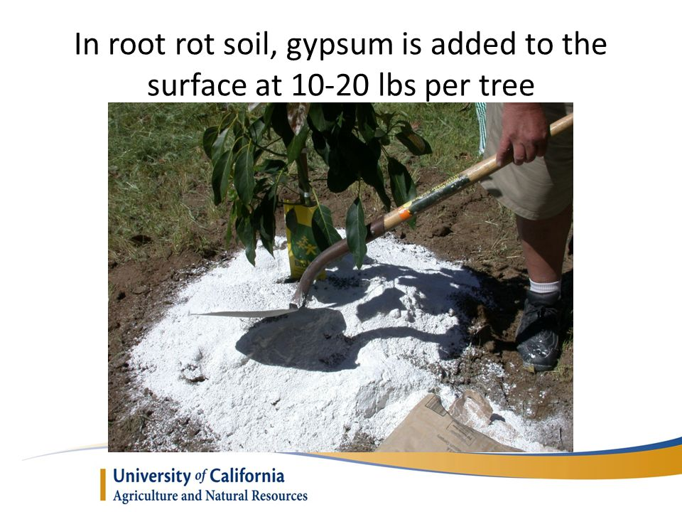 In root rot soil, gypsum is added to the surface at 10-20 lbs per tree