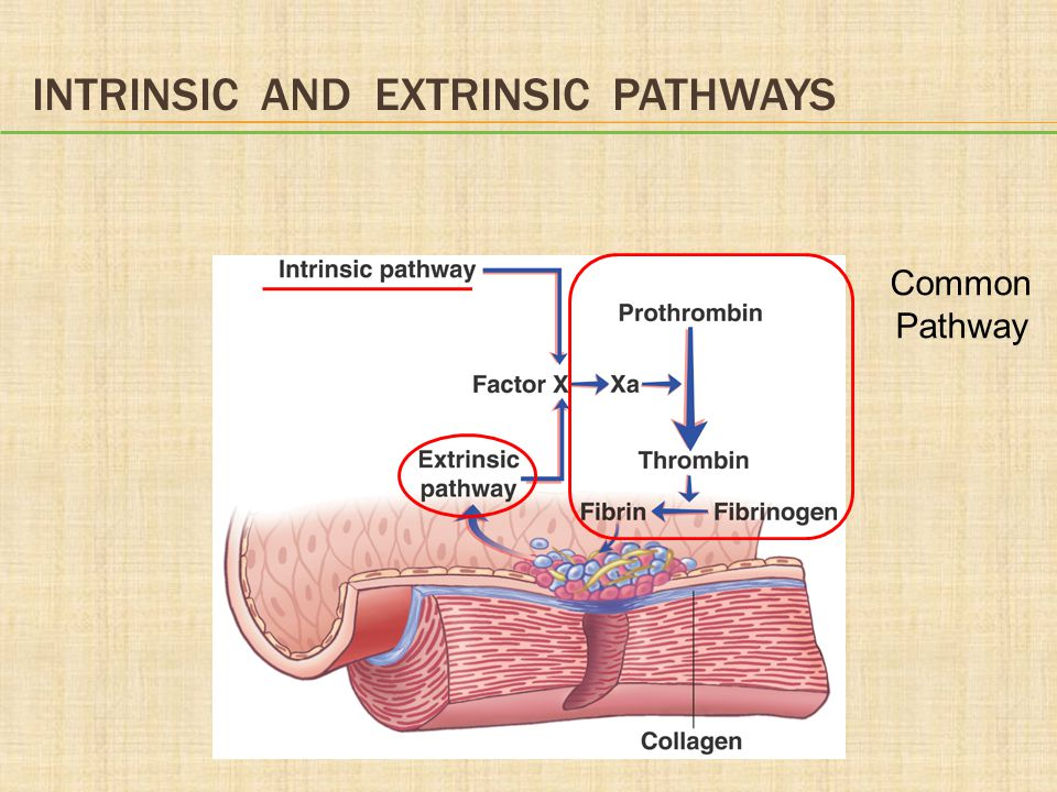 INTRINSIC AND EXTRINSIC PATHWAYS Common Pathway