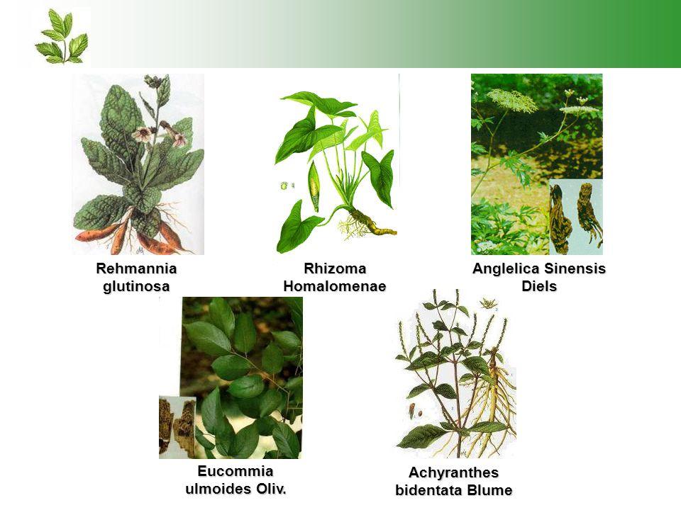 Rehmannia glutinosa Rhizoma Homalomenae Anglelica Sinensis Diels Eucommia ulmoides Oliv. Achyranthes bidentata Blume