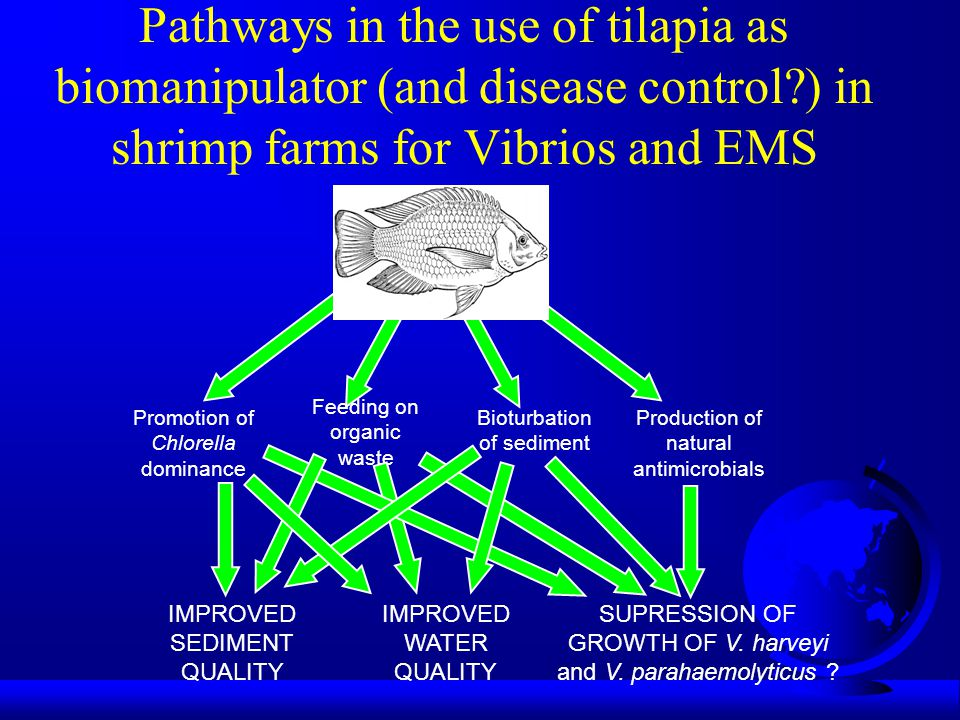 Pathways in the use of tilapia as biomanipulator (and disease control ) in shrimp farms for Vibrios and EMS Promotion of Chlorella dominance Bioturbation of sediment Production of natural antimicrobials Feeding on organic waste IMPROVED SEDIMENT QUALITY IMPROVED WATER QUALITY SUPRESSION OF GROWTH OF V.