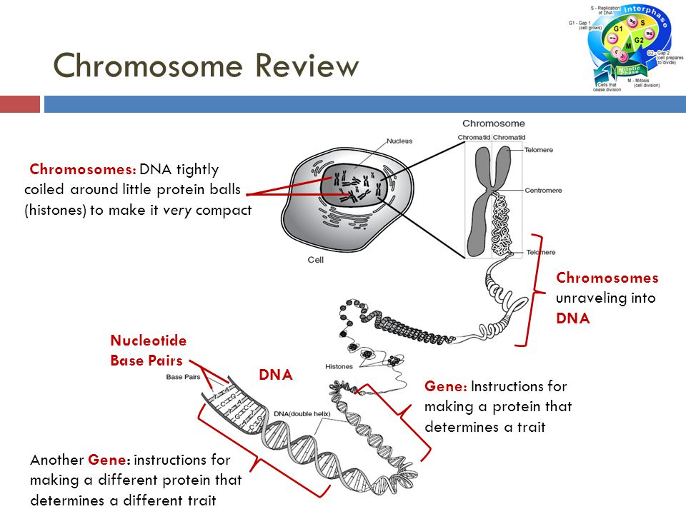 DNA Chromosomes: DNA tightly coiled around little protein balls (histones) to make it very compact Gene: Instructions for making a protein that determines a trait Another Gene: instructions for making a different protein that determines a different trait Chromosome Review Nucleotide Base Pairs Chromosomes unraveling into DNA
