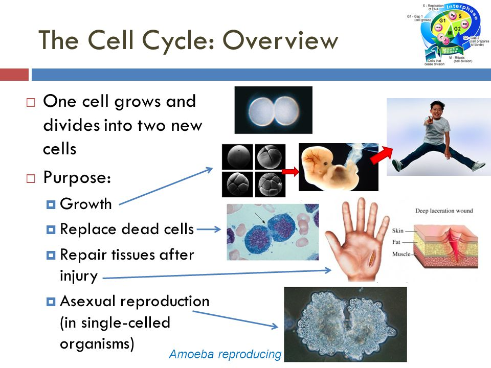 The Cell Cycle: Overview  One cell grows and divides into two new cells  Purpose:  Growth  Replace dead cells  Repair tissues after injury  Asexual reproduction (in single-celled organisms) Amoeba reproducing