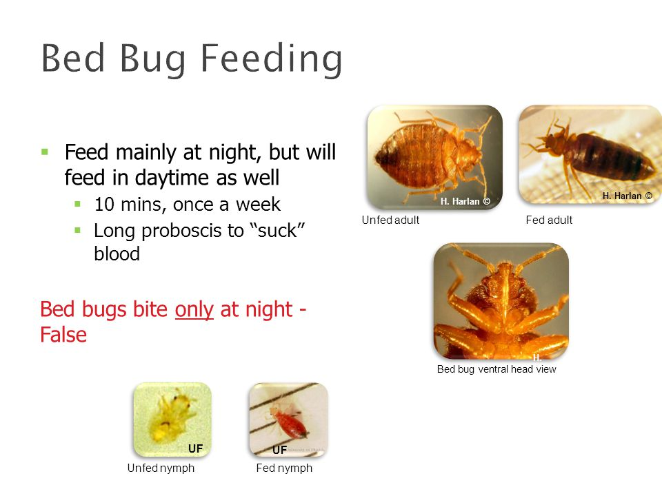 Bed Bug Feeding  Feed mainly at night, but will feed in daytime as well  10 mins, once a week  Long proboscis to suck blood Bed bugs bite only at night - False Unfed adultFed adult H.