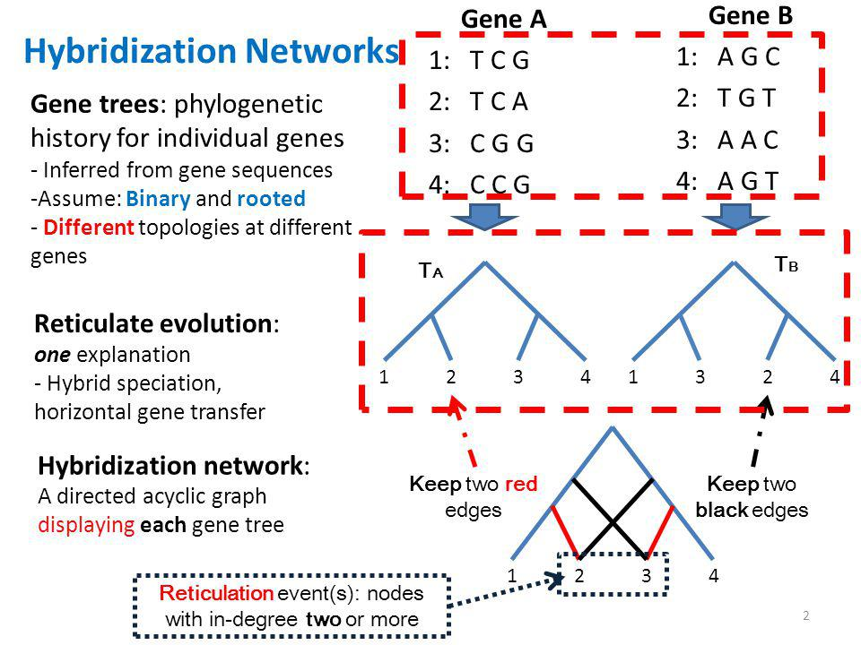 1 1 2 2 3 3 4 4 Keep two red edges Keep two black edges Reticulation event(s): nodes with in-degree two or more 1 1 2 2 3 3 4 4 1 1 3 3 2 2 4 4 TATA TBTB Hybridization Networks Gene trees: phylogenetic history for individual genes - Inferred from gene sequences -Assume: Binary and rooted - Different topologies at different genes Reticulate evolution: one explanation - Hybrid speciation, horizontal gene transfer Gene A 1: T C G 2: T C A 3: C G G 4: C C G Gene B 1: A G C 2: T G T 3: A A C 4: A G T Hybridization network: A directed acyclic graph displaying each gene tree 2
