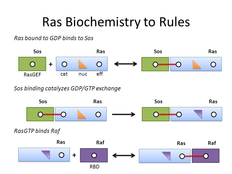 Ras Biochemistry to Rules Ras bound to GDP binds to Sos nuc Ras eff + Sos cat RasGEF RasSos Sos binding catalyzes GDP/GTP exchange RasSos RasSos RasGTP binds Raf Ras + Raf Ras Raf RBD