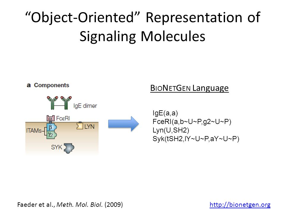 Object-Oriented Representation of Signaling Molecules IgE(a,a) FceRI(a,b~U~P,g2~U~P) Lyn(U,SH2) Syk(tSH2,lY~U~P,aY~U~P) B IO N ET G EN Language Faeder et al., Meth.