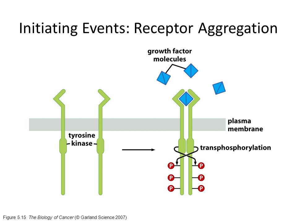 Figure 5.15 The Biology of Cancer (© Garland Science 2007) Initiating Events: Receptor Aggregation