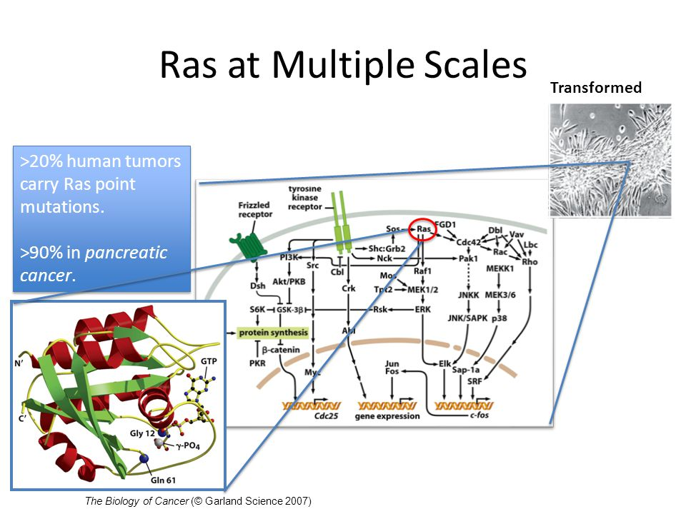 Video of Ras Activation Ras structure and function