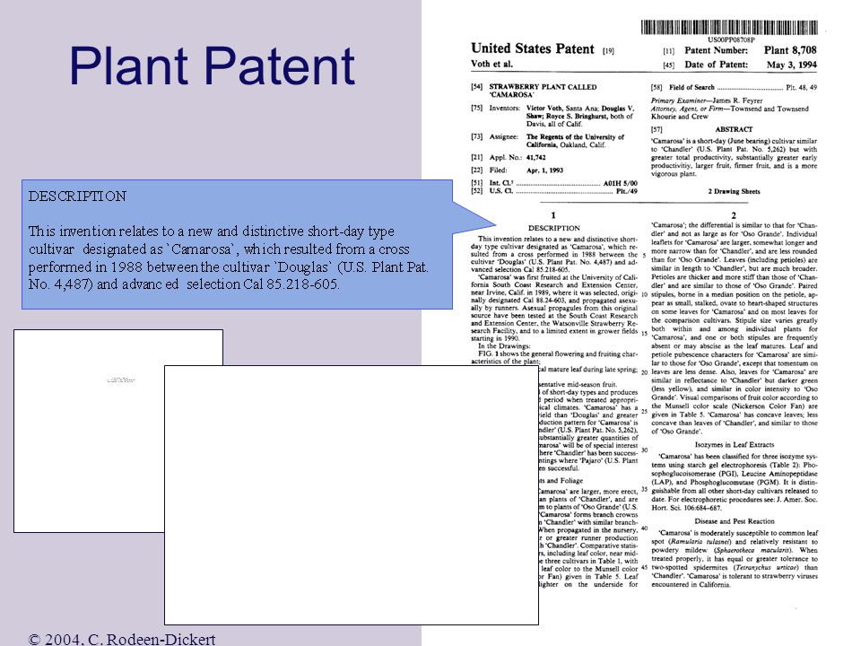 © 2004, C. Rodeen-Dickert Design Patent Note: only one claim required Also denoted as D365,245