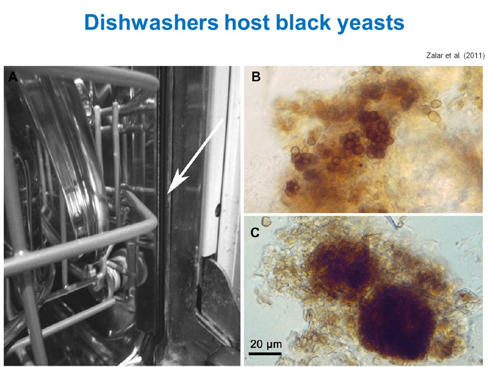 Zalar et al. (2011) Dishwashers host black yeasts