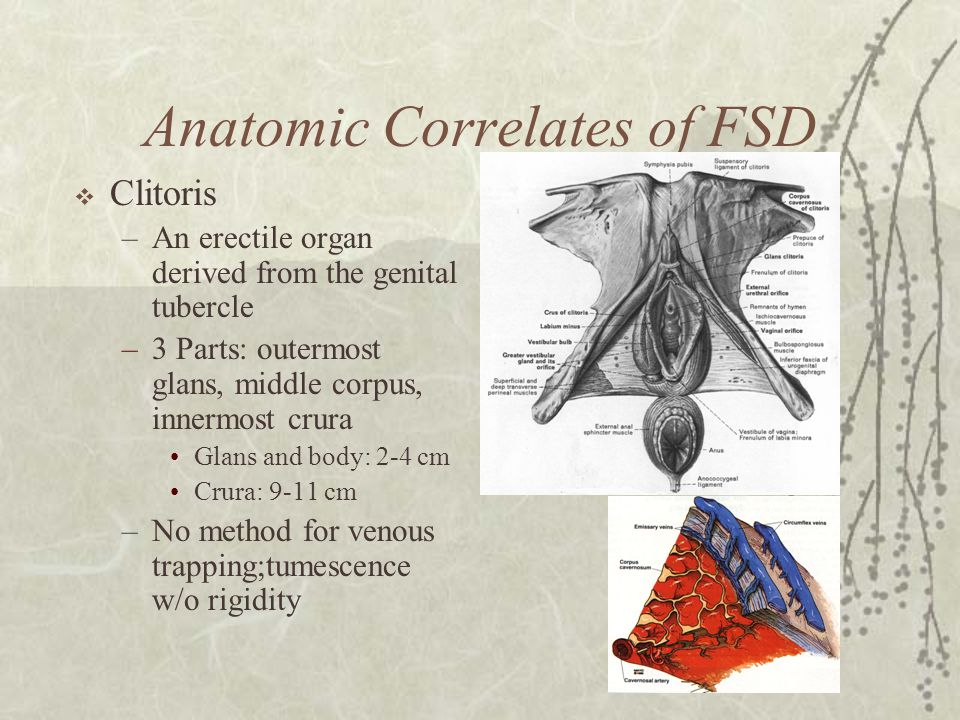 Anatomic Correlates of FSD  Clitoris –An erectile organ derived from the genital tubercle –3 Parts: outermost glans, middle corpus, innermost crura G