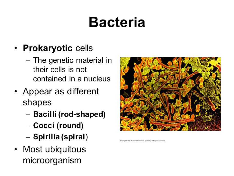 Bacteria Prokaryotic cells –The genetic material in their cells is not contained in a nucleus Appear as different shapes –Bacilli (rod-shaped) –Cocci
