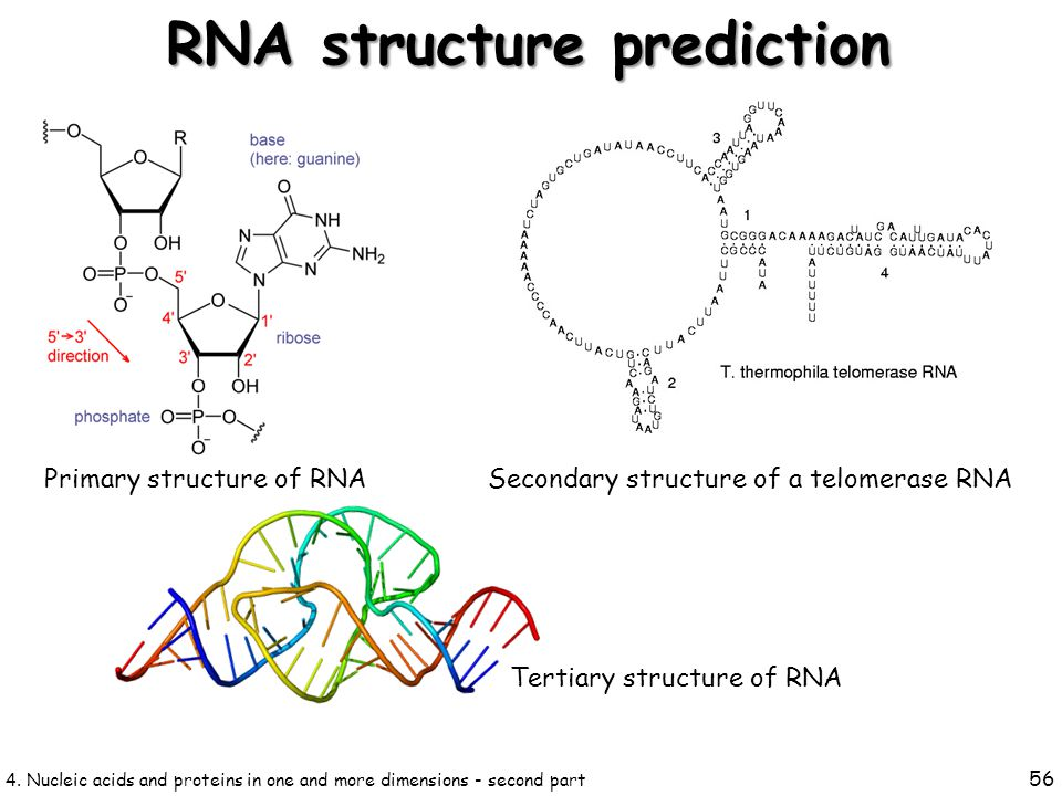 4. Nucleic acids and proteins in one and more dimensions - second part 56 RNA structure prediction Secondary structure of a telomerase RNA Primary str