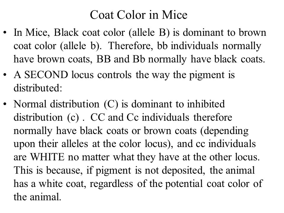 Coat Color in Mice In Mice, Black coat color (allele B) is dominant to brown coat color (allele b). Therefore, bb individuals normally have brown coat