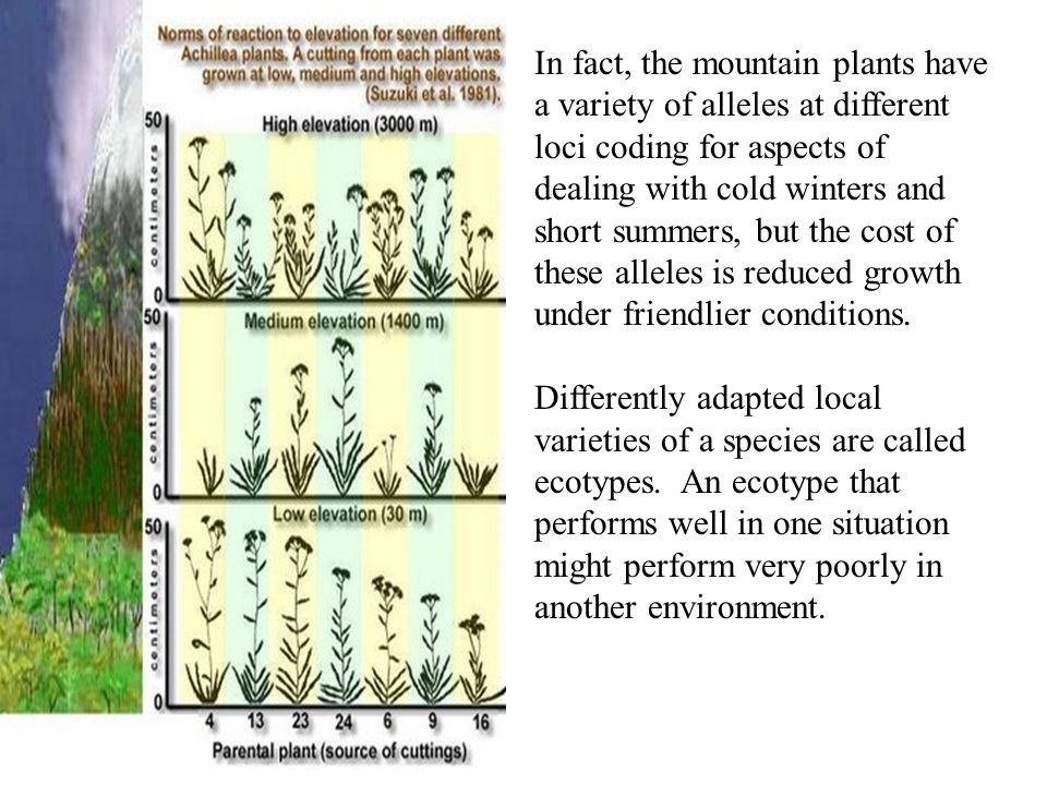 In fact, the mountain plants have a variety of alleles at different loci coding for aspects of dealing with cold winters and short summers, but the cost of these alleles is reduced growth under friendlier conditions.
