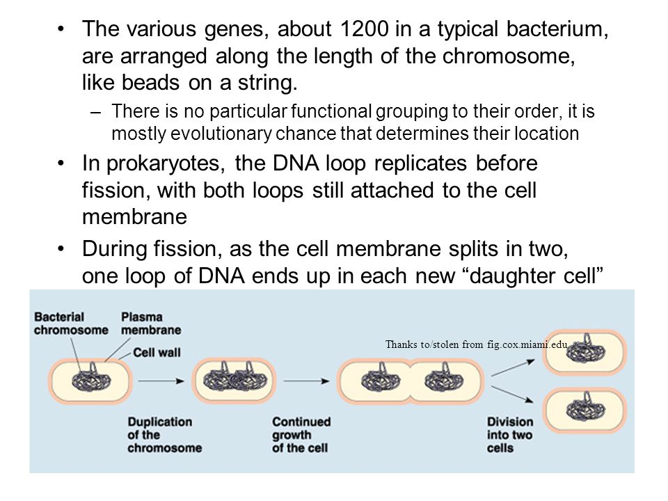 The various genes, about 1200 in a typical bacterium, are arranged along the length of the chromosome, like beads on a string. –There is no particular