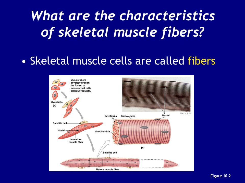 What are the characteristics of skeletal muscle fibers.