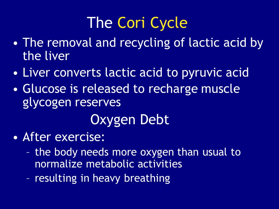 The Cori Cycle The removal and recycling of lactic acid by the liver Liver converts lactic acid to pyruvic acid Glucose is released to recharge muscle glycogen reserves Oxygen Debt After exercise: –the body needs more oxygen than usual to normalize metabolic activities –resulting in heavy breathing