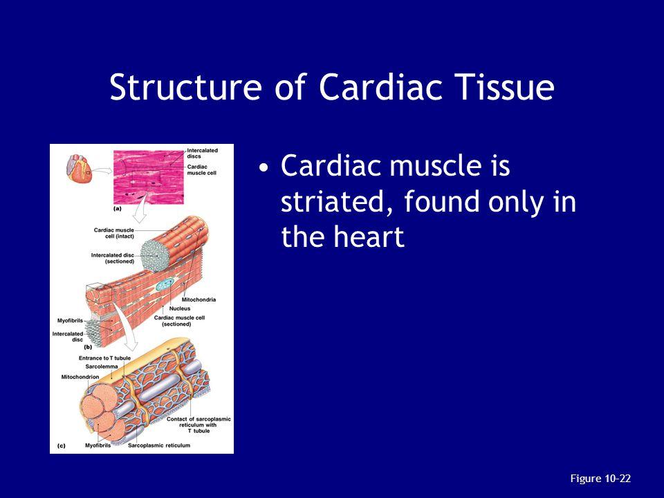 Structure of Cardiac Tissue Cardiac muscle is striated, found only in the heart Figure 10–22