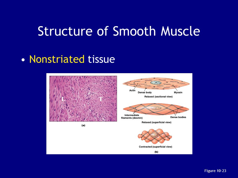 Structure of Smooth Muscle Nonstriated tissue Figure 10–23