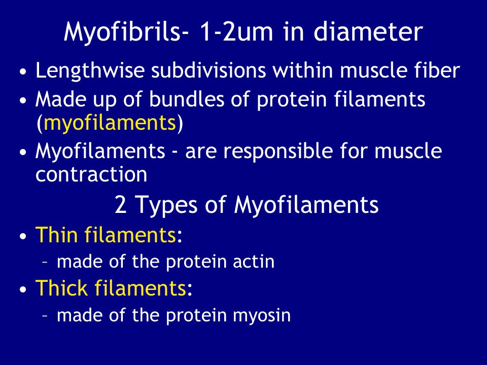 Myofibrils- 1-2um in diameter Lengthwise subdivisions within muscle fiber Made up of bundles of protein filaments (myofilaments) Myofilaments - are responsible for muscle contraction 2 Types of Myofilaments Thin filaments: –made of the protein actin Thick filaments: –made of the protein myosin