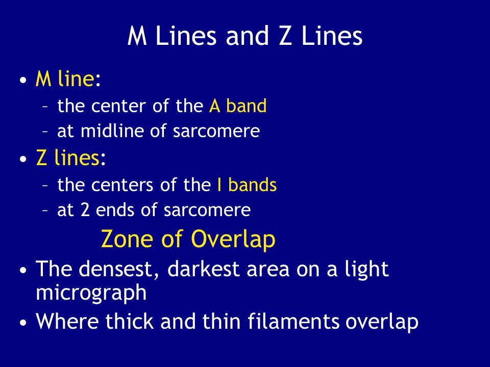 M Lines and Z Lines M line: –the center of the A band –at midline of sarcomere Z lines: –the centers of the I bands –at 2 ends of sarcomere Zone of Overlap The densest, darkest area on a light micrograph Where thick and thin filaments overlap
