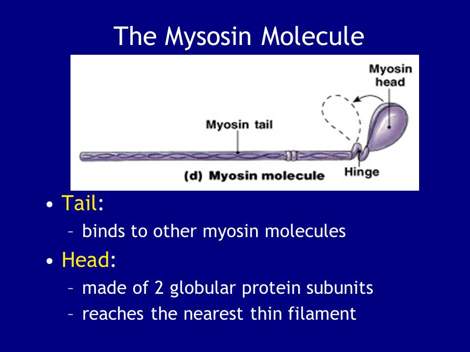 The Mysosin Molecule Tail: –binds to other myosin molecules Head: –made of 2 globular protein subunits –reaches the nearest thin filament