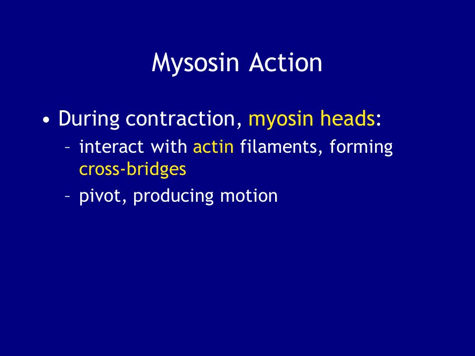 Mysosin Action During contraction, myosin heads: –interact with actin filaments, forming cross-bridges –pivot, producing motion