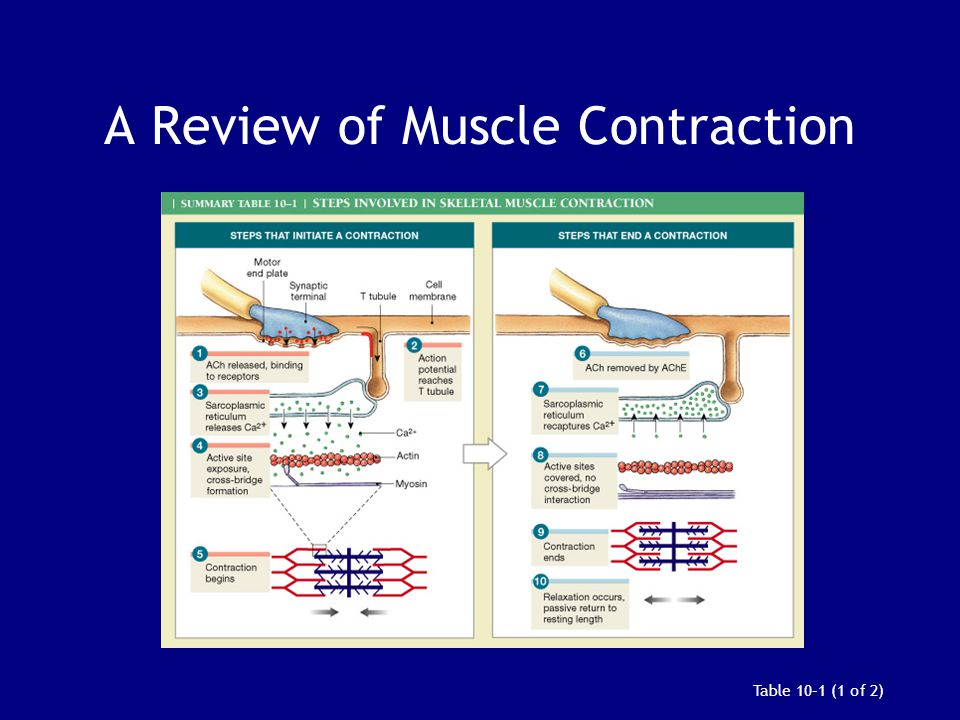 A Review of Muscle Contraction Table 10–1 (1 of 2)