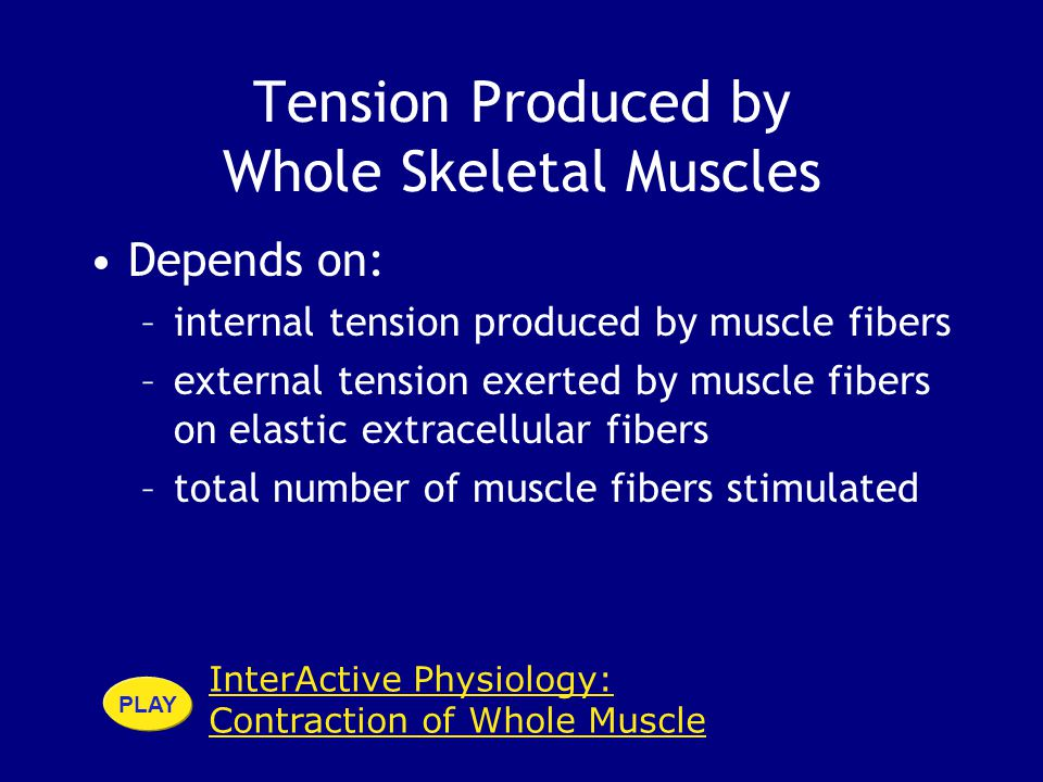InterActive Physiology: Contraction of Whole Muscle PLAY Tension Produced by Whole Skeletal Muscles Depends on: –internal tension produced by muscle fibers –external tension exerted by muscle fibers on elastic extracellular fibers –total number of muscle fibers stimulated