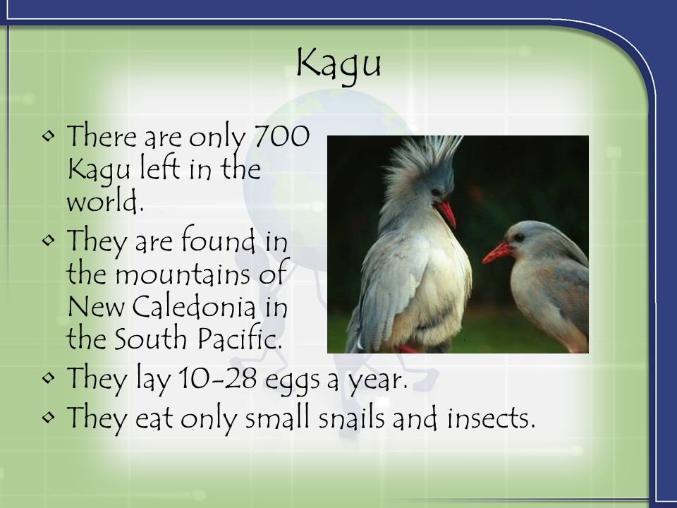 Kagu There are only 700 Kagu left in the world.