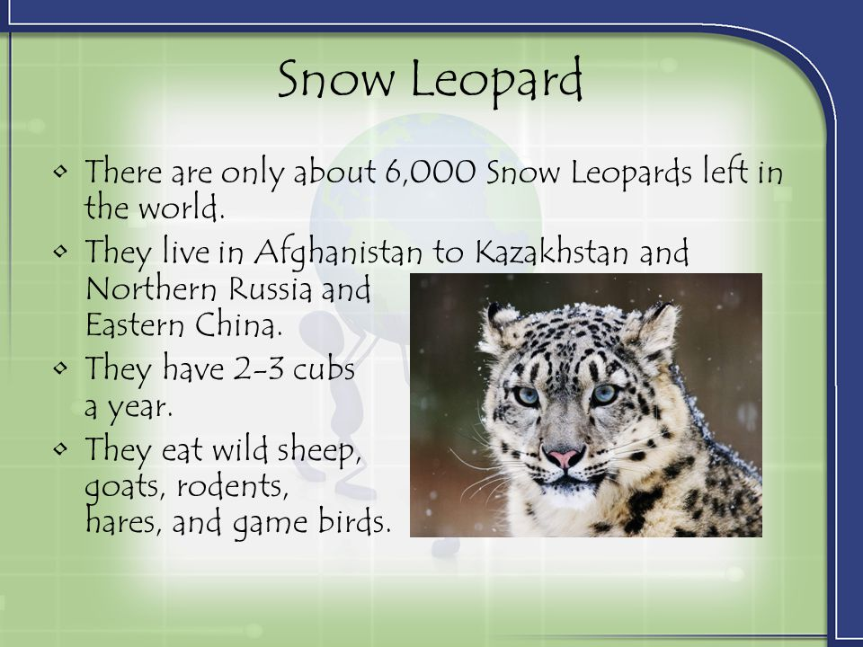 Snow Leopard There are only about 6,000 Snow Leopards left in the world.