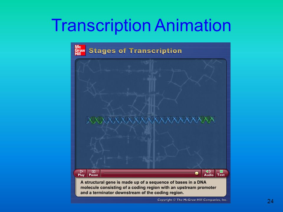 24 Figure 2.3 Transcription Animation Please note that due to differing operating systems, some animations will not appear until the presentation is v