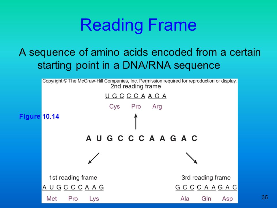 35 Reading Frame A sequence of amino acids encoded from a certain starting point in a DNA/RNA sequence Figure 10.14